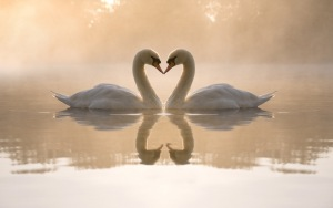 swans_lake_love_heart_7926_300x188